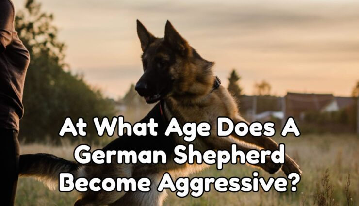 At What Age Does A German Shepherd Become Aggressive?