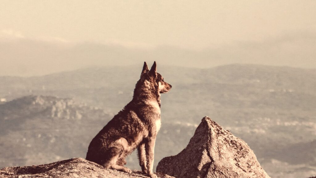 will a coyote attack a german shepherd