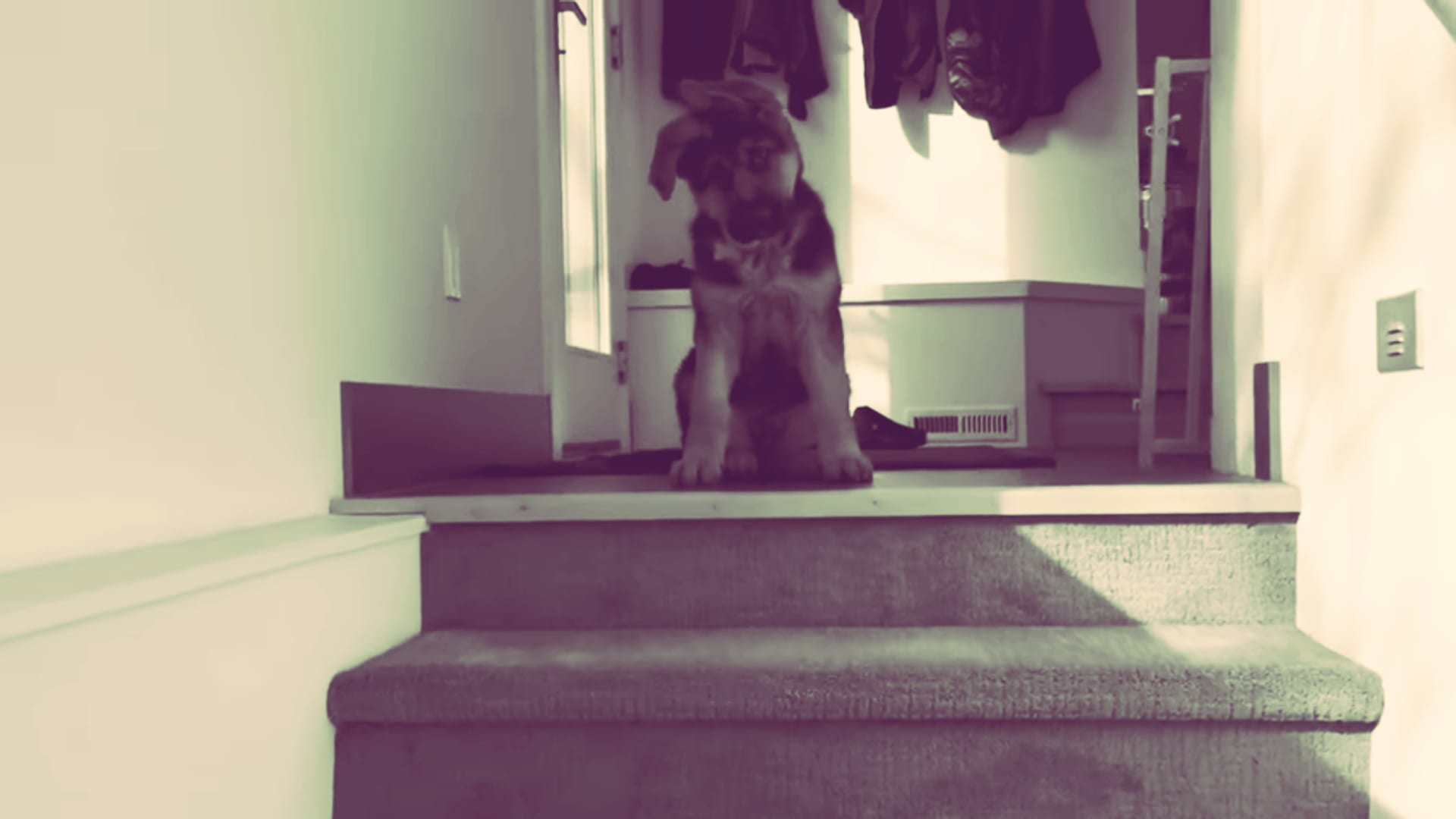 Are Stairs Bad for German Shepherd Puppies?