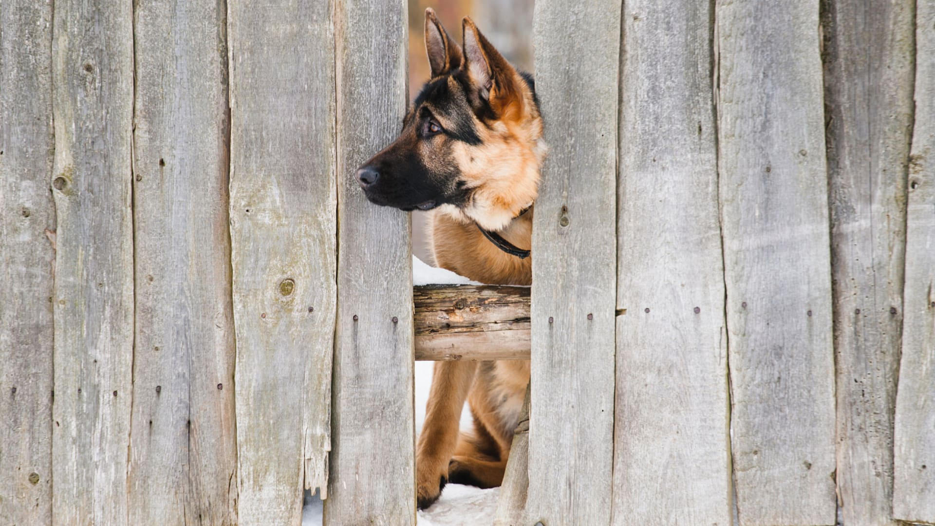 Best Wireless Dog Fence for German Shepherds